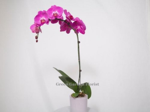 Single Large Purple Orchid (17-02)